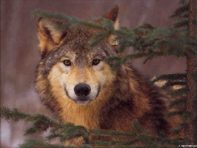 Black And White And Brown Dark Wolf Yellow Eyes