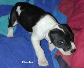 Charles great dane pup