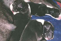 great dane puppy litter