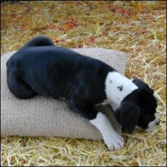 dane puppy