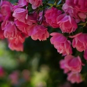 バラの香り療法メニュー