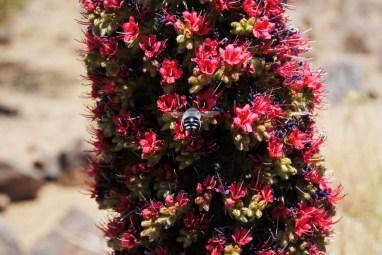 Tajinaste Rojo (Red Bugloss), Parque Nacional del Teide