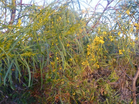 Spring Blossoming Native Plants In Bushland Perth