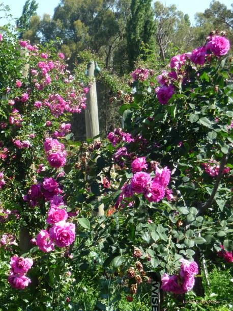 Stunning roses everywhere!