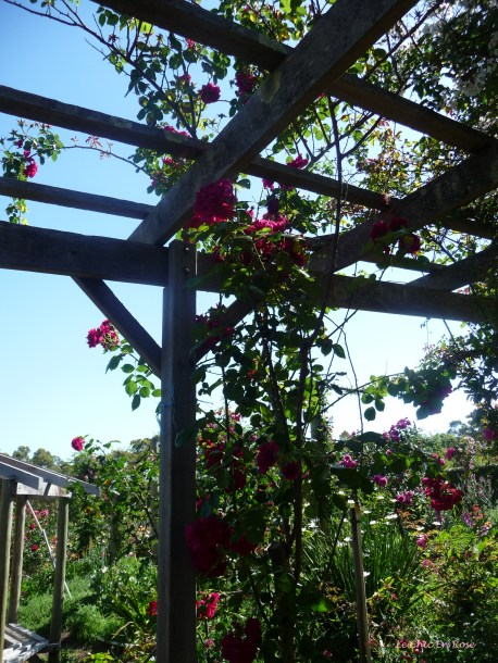 Roses climb up the pergola