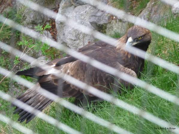 Eagle at Alpenzoo