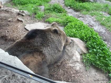 Brown bear resting in its enclosure
