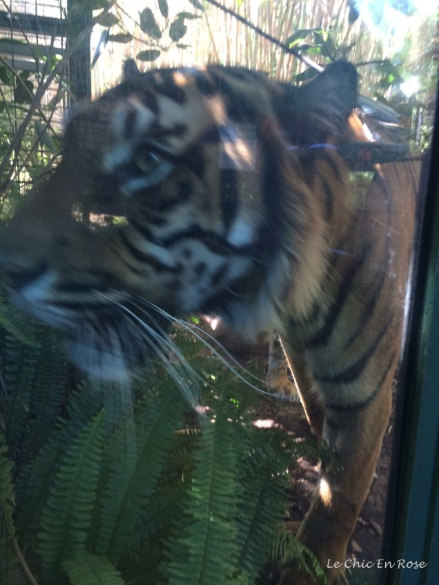 Tiger getting ready to pounce! Even behind the glass it was bit scary!