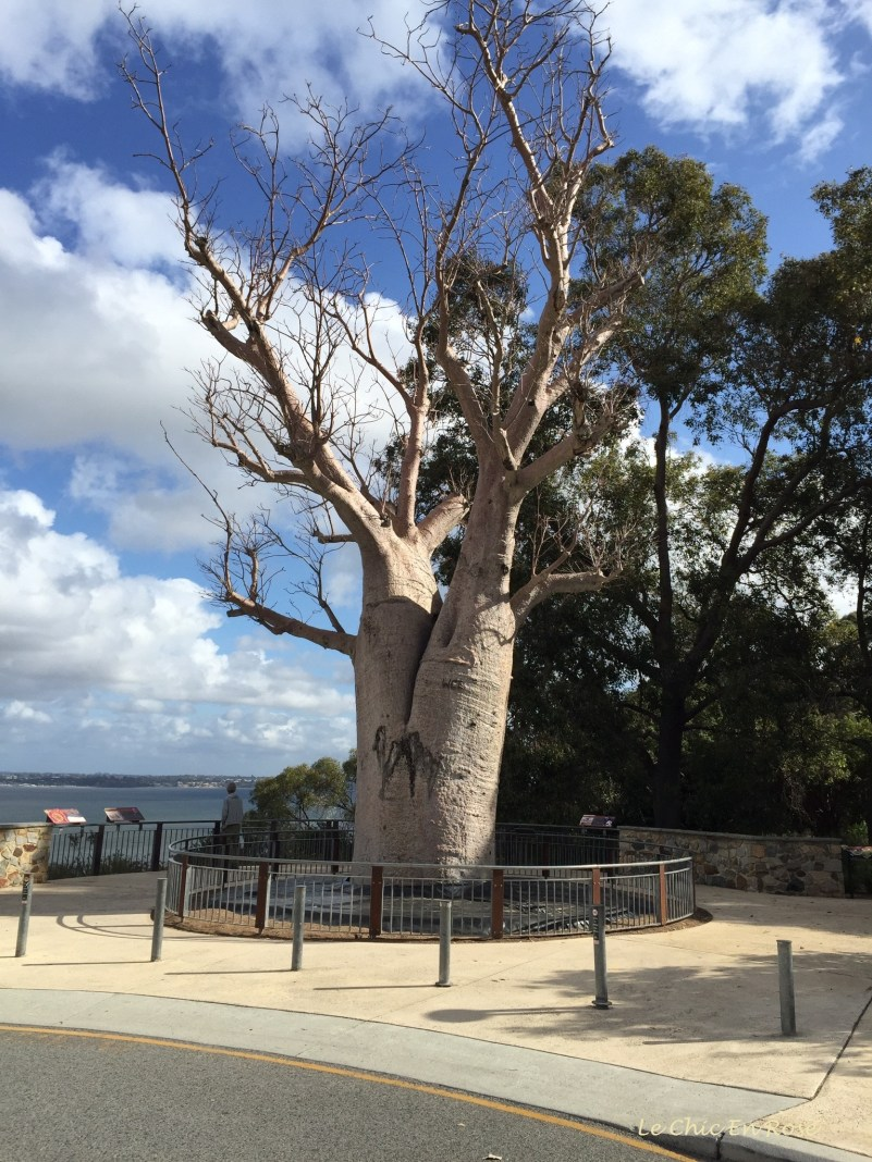 "The famous ""Boab Tree"" , which was successfully relocated from its home in the far north west of the state and transported to Kings Park as a gift from the local indigenous population. It is 750 years old!"