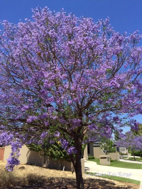 Jacaranda trees in full bloom in Perth