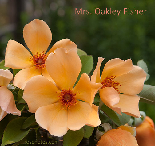 Mrs Oakley Fisher Rose  Rose Notes