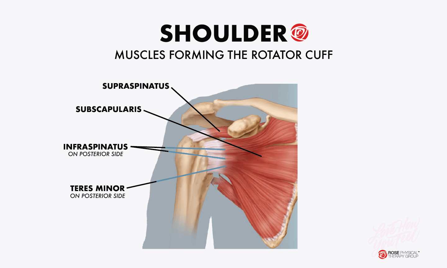 hight resolution of shoulder muscles rotator cuff