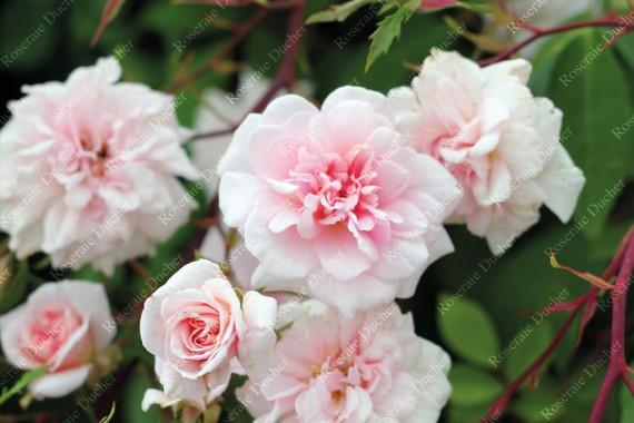 Roses DUCHER  Climbing rose Mademoiselle Cecile Brunner