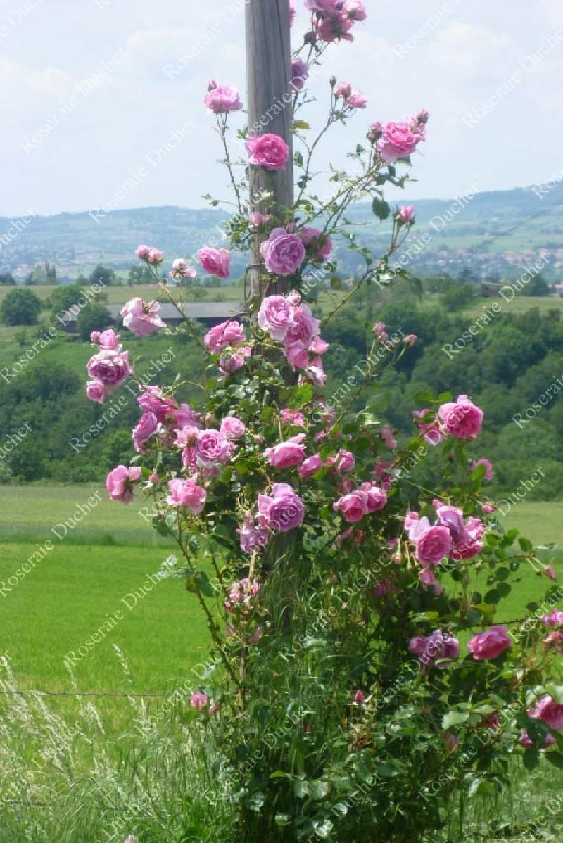 Roses DUCHER Climbing Rose Pink Cloud