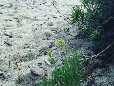 El hinojo marino es un ingrediente fundamental del #pamboli mallorquín. Aquí el que crece en #palinuro #ilviottolo