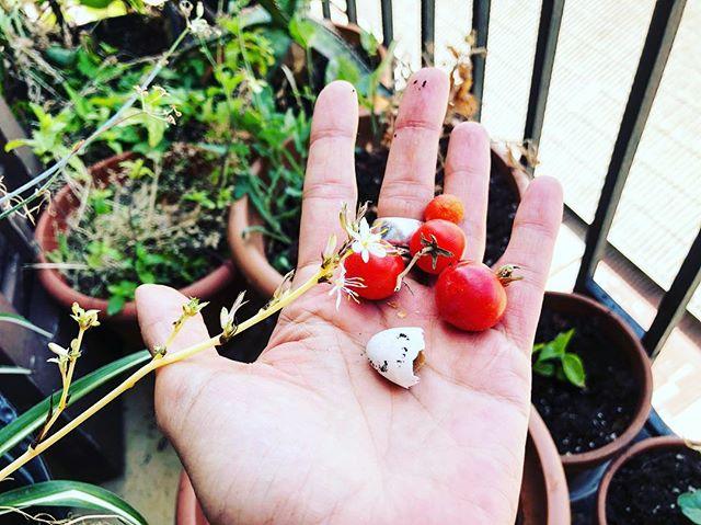 El jardín de mi balcón tiene flores, tomates, menta, hinojo… y una preciosa media cáscara de huevo de golondrina