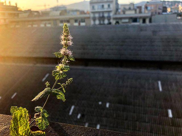 Septiembre es la primavera de los estudiantes y de la #menta de mi balcón :))