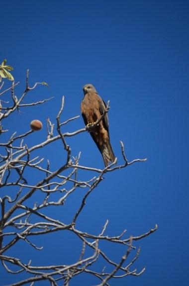 Brown Falcon?