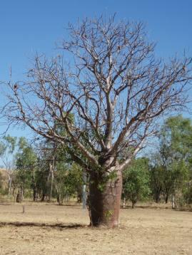 Boab Trees, Wyndham