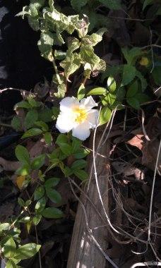 Cherokee Rose blossom