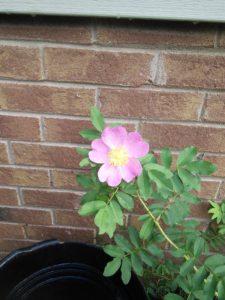 Rosa Arkansasa