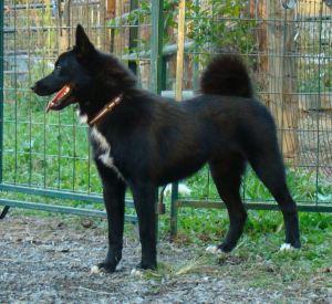 """rare black female Norwegian Buhund """"Storm"""""""