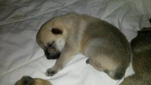 puppy 2 weeks old d