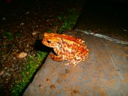 common toad (looking rather spectacular actually)