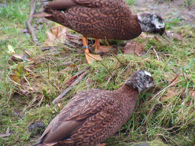more-ducks