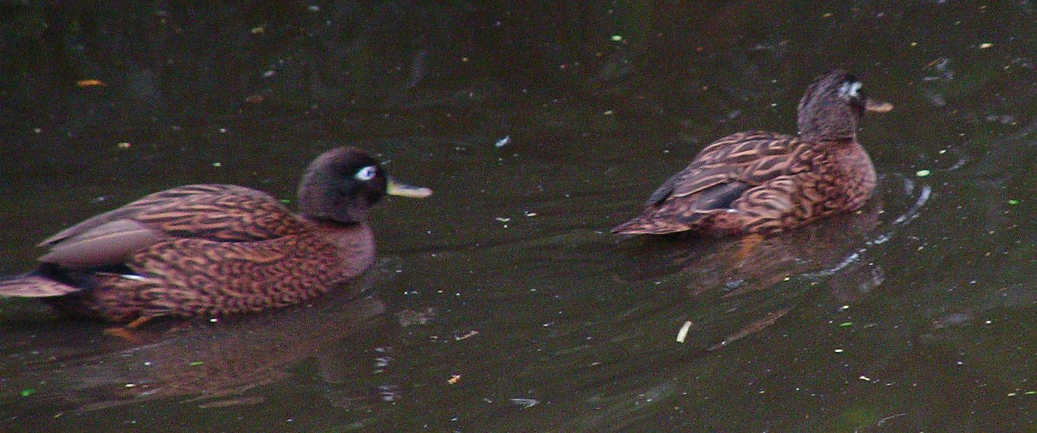 swimming-ducks