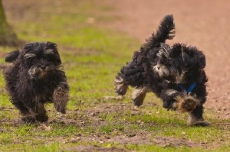 2-running-puppys-of-16-weeks