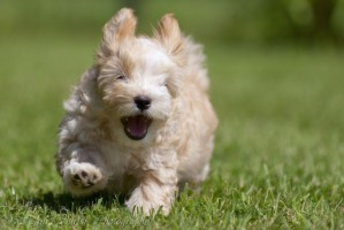 smiling-puppy-of-10-weeks