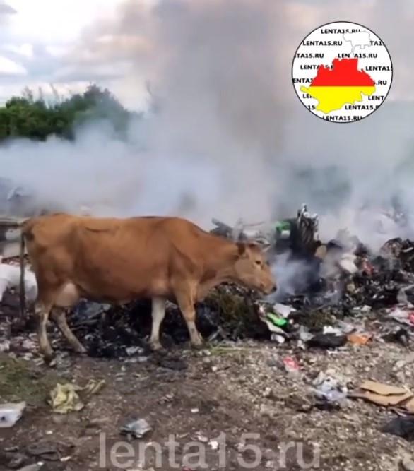 Коровы пасутся на свалке. Скриншот: Lenta15.ru