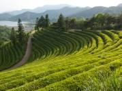 Boseong tea plantations