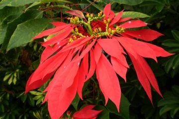 gwiazda betlejemska kwiat