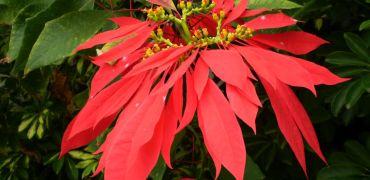 Kwiat – symbol Bożego Narodzenia
