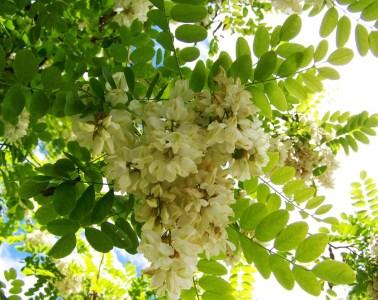 Akacja na talerzu - przepis na aromatyczne placuszki kwiatowe [PORADNIK]