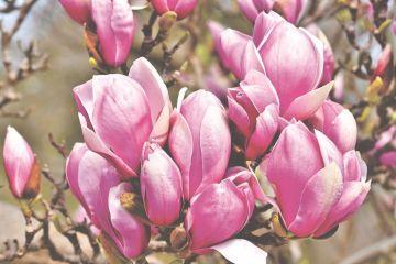 Magnolia to zapach roku 2020 - tak mówią w Grasse