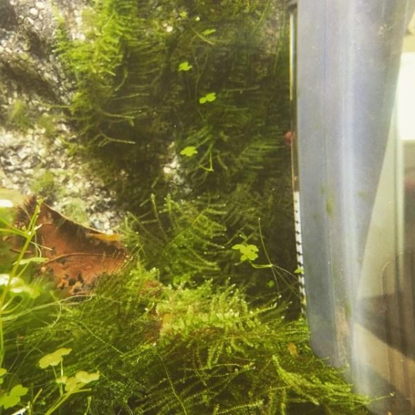 Moss wall in my Yellow Cherry Shrimp tank