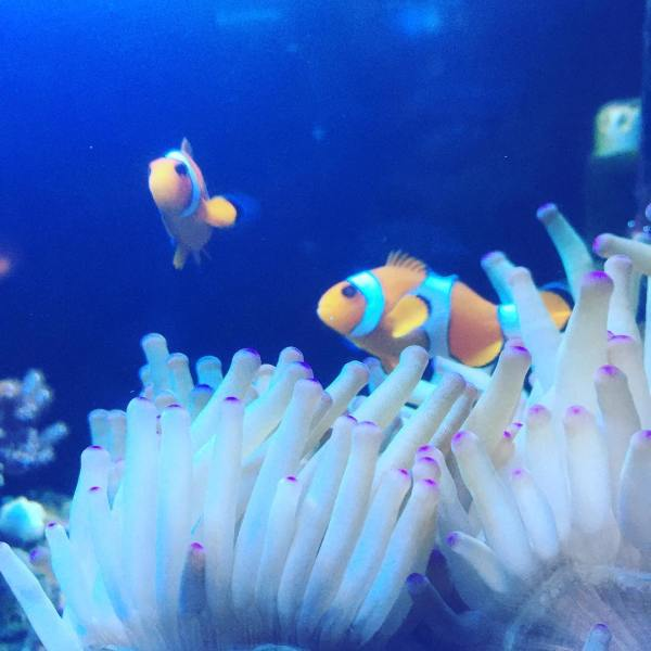18 days later the clownfish are starting to bond with the anemone...