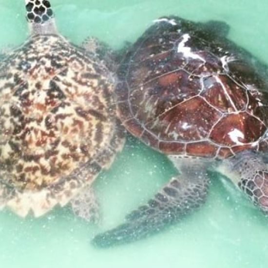 Rare Hawksbill Turtle (left) in rehab