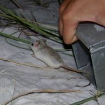 Perdido Beach Mouse v2.0, MRIOTD Award Winner