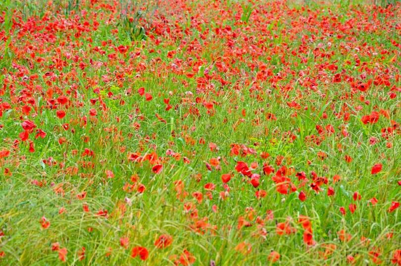 A poppy field in the rain