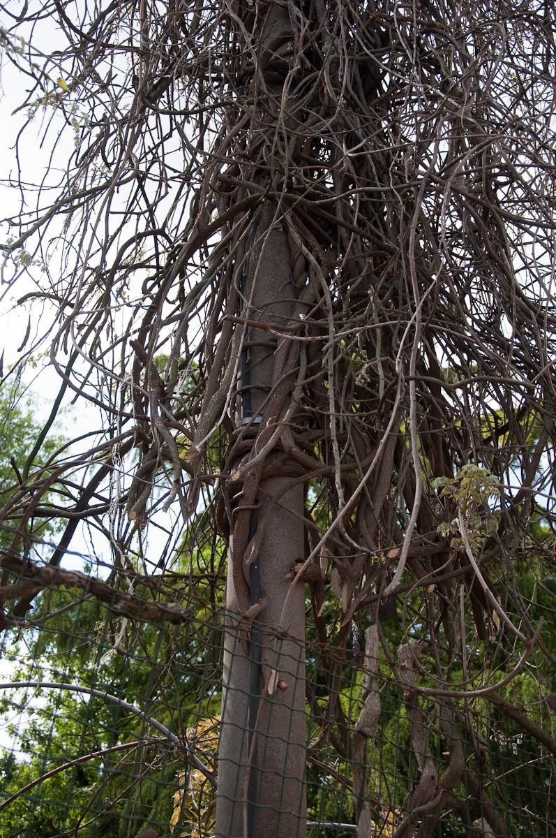 A telegraph post covered with the dry branches of a wisteria tree, Borghetto sul Mincio, Veneto, Italy