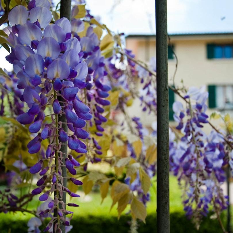 Wisteria, Borghetto sul Mincio, Veneto, Italy