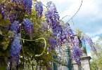 Wisteria draped across a fence, Borghetto sul Mincio, Veneto, Italy