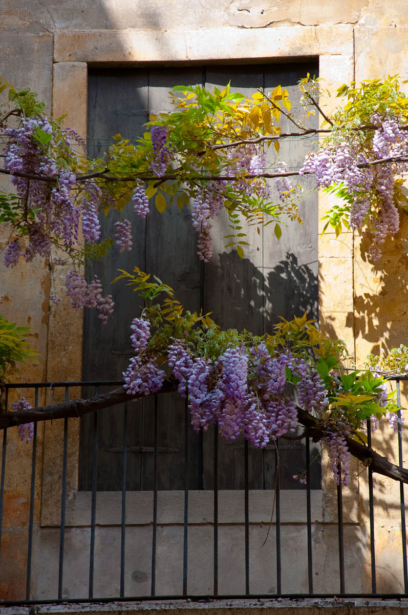 Wisteria tree in bloom - Vicenza, Veneto, Italy - rossiwrites.com