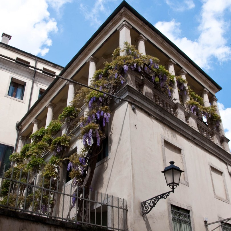 Wisteria tree climbing up a large gallery, Vicenza, Veneto, Italy