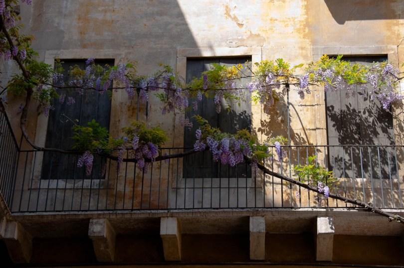 Wisteria tree draping a balcony, Vicenza, Veneto, Italy