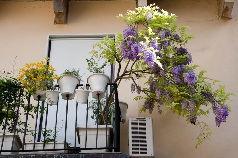 Wisteria tree in a pot on a balcony, Vicenza, Veneto, Italy